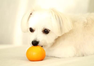 オレンジの匂いを嗅ぐ犬
