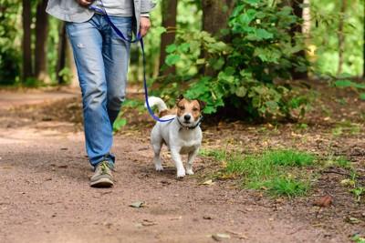 飼い主と散歩をするジャックラッセルテリア