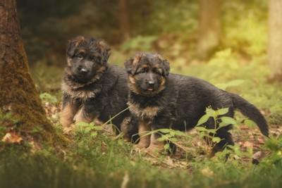 森を散策するシェパードの子犬
