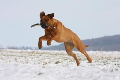 ジャンプする土佐犬