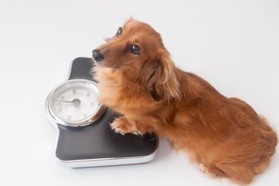 体重を測っている犬