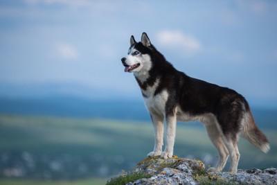 岩に立つオオカミのようなハスキー犬