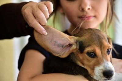 犬の耳の中の番号を見せている写真