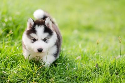 草の上の歩くハスキーの子犬