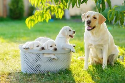庭でくつろぐラブラドールの家族