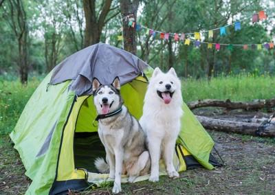 テントの前の2匹の犬