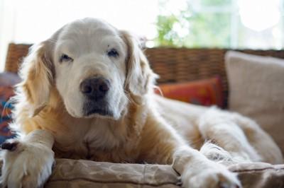 ソファーでくつろぐシニアのゴールデンレトリバー