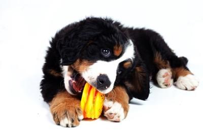 バーニーズの子犬