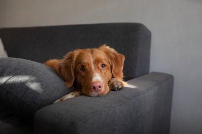 ソファーから見ている立て耳の犬