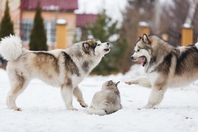 喧嘩する成犬2頭と子犬