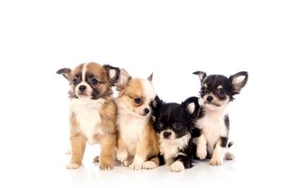 4匹のチワワの子犬の写真
