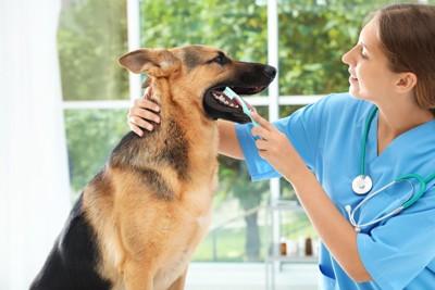 獣医に歯磨きしてもらっている犬