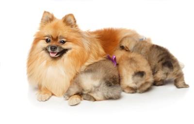 ポメラニアンの母犬と子犬