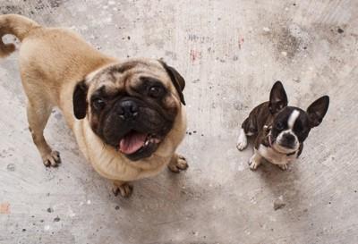 パグとボストンテリア子犬