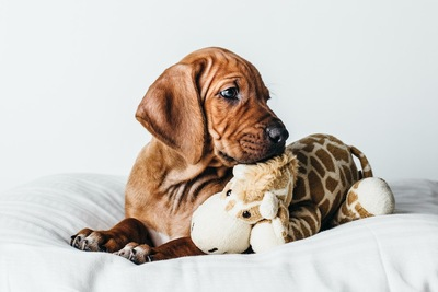 ベッドでぬいぐるみと一緒にくつろぐ犬