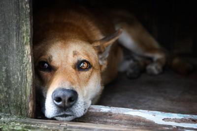木製の扉から外を覗く犬