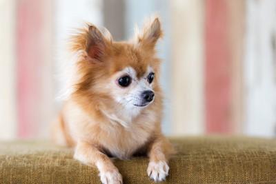 ソファーの上の老犬チワワ