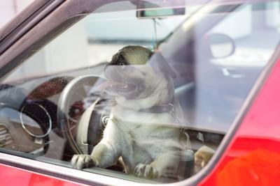 車内から外を見つめるパグ