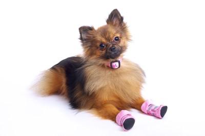 ピンクの靴を履いた犬