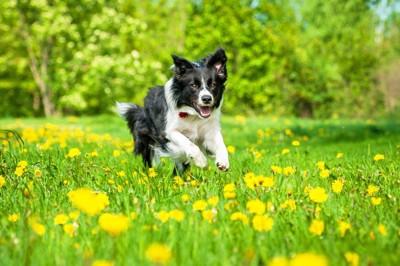 タンポポと走る犬