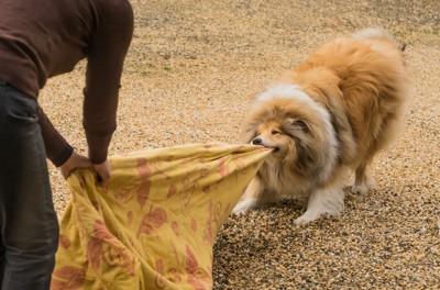 布を引っ張る犬