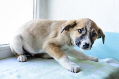 低い体勢で怯える垂れ耳の子犬