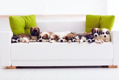 ソファの上で寝る9頭のパピー