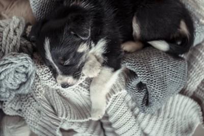 飼い主のニットの上で眠る子犬