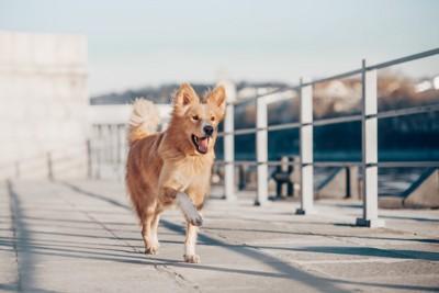 笑顔で駆けてくる犬、茶と白