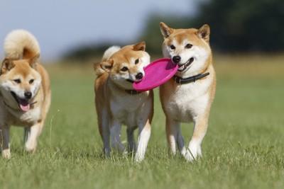 ピンクのフリスビーをくわえる2匹の柴犬