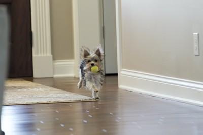黄色のおもちゃをくわえて部屋を走っている犬