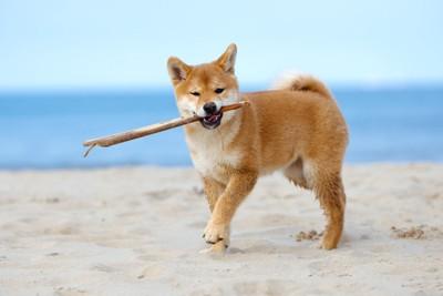 砂浜で木の枝をくわえる柴犬