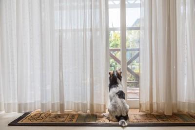 窓から外を見る白黒の犬