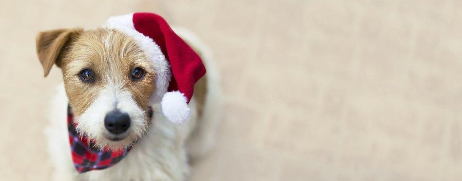 サンタの帽子を被るジャックラッセルテリア