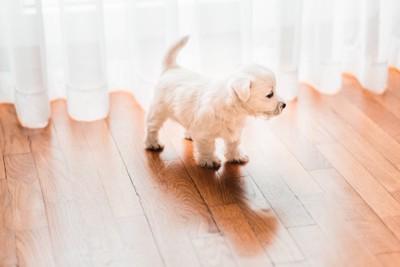 カーテンの前に立つ子犬