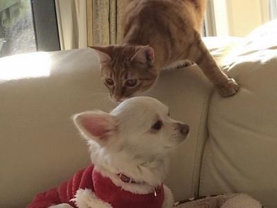 マルチーズと猫