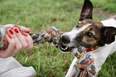 引っ張りっこで遊ぶ犬