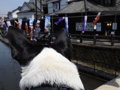 鯉のぼりを見ている犬