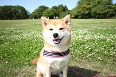 軽く舌を出す柴犬