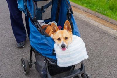 ペットカートに乗って散歩する犬