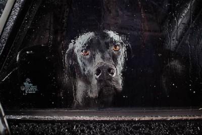 雨でぬれた窓からこちらを見ている黒い犬