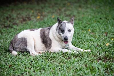 芝生で休憩する老犬