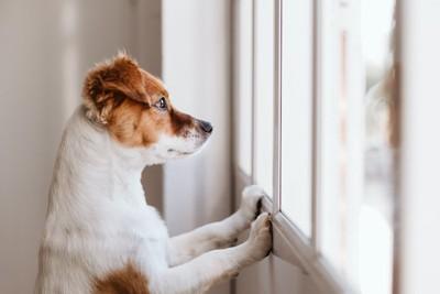 立ち上がって窓から外を眺める犬