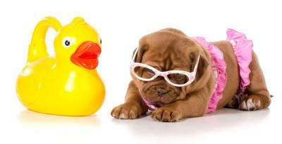 アヒルの玩具とピンクのビキニ姿の犬