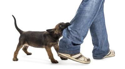 ズボンのすそを噛む犬