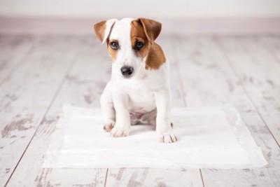 トイレシーツの上に座るジャックラッセルの子犬
