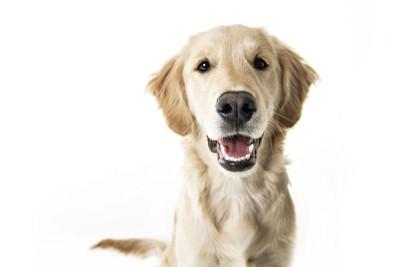笑顔のゴールデン、白い背景