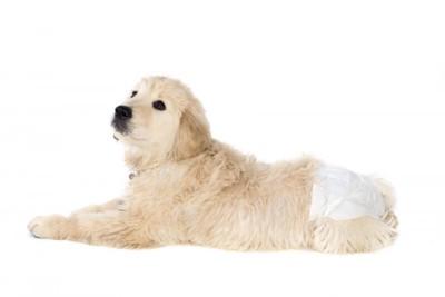 おむつをしている犬