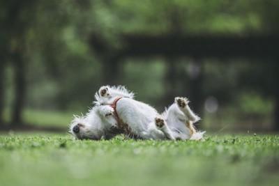 芝生の上で背中を擦り付ける犬
