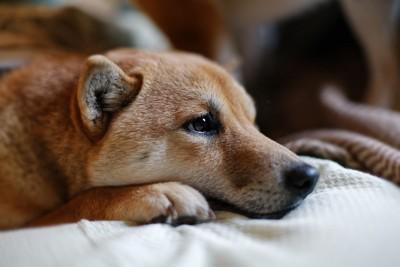退屈そうに寝る柴犬